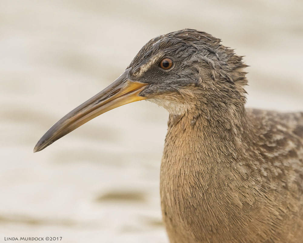 Clapper Rail portrait  Nikon D810 with NIKKOR 500mm f/4E VR + Nikon 1.4x TC ~ 1/1600   sec f/8.0 ISO 3200; tripod