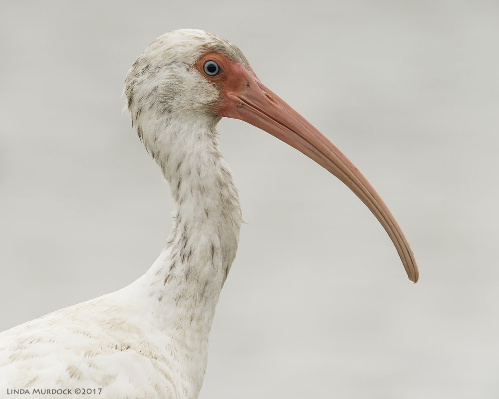 Lovely White Ibis sub-adult    Nikon D810 with NIKKOR 500mm f/4E VR + Nikon 1.4x TC ~ 1/2000   sec f/7.1 ISO 1600; tripod