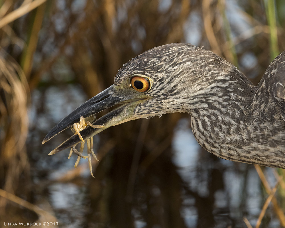 Young Yellow-crowned Night Heron with tasty crab Nikon D810 with NIKKOR 500mm f/4E VR + Nikon 1.4x TC ~ 1/800 sec f/10.0 ISO 2000; braced in vehicle window
