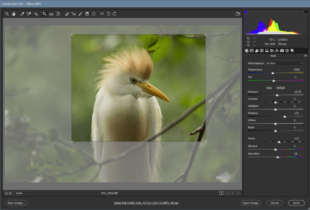 Screen shot from ACR showing Cattle Egret original RAW image and potential 38% crop (and yes, I removed some distracting branches from the final image)