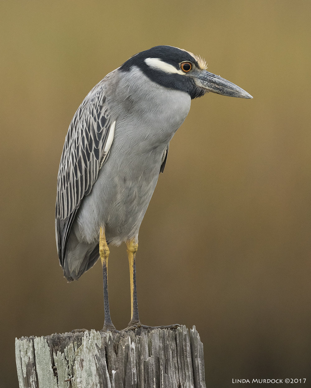 Handsome Yellow-crowned Night Heron    Nikon D810 with NIKKOR 500mm f/4E VR + Nikon 1.4x TC ~ 1/1000   sec f/7.1 ISO 2000; tripod