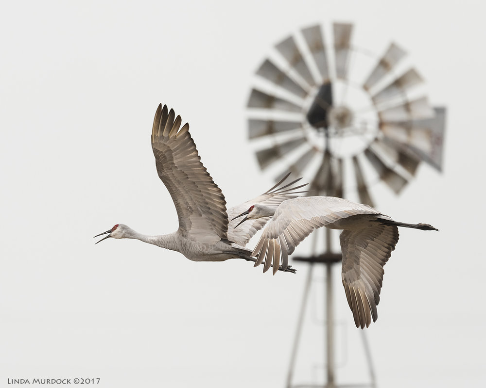 Off and away... Nikon D810 with NIKKOR 500mm f/4E VR + Nikon 1.4x TC ~ 1/1250   sec f/6.3 ISO 1000; tripod