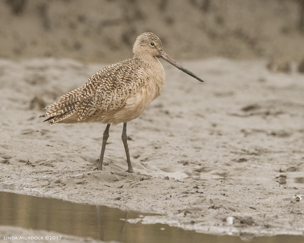 Marbled Godwit in the mud    Nikon D810 with NIKKOR 500mm f/4E VR + Nikon 1.4x TC ~ 1/1250   sec f/6.3 ISO 1600; tripod