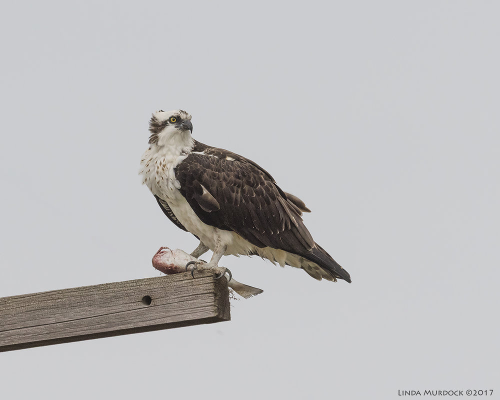 Osprey and headless fish  Nikon D810 with NIKKOR 500mm f/4E VR + Nikon 1.4x TC ~ 1/2000   sec f/7.1 ISO 1250; hand-held