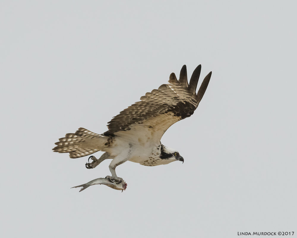 Osprey and headless fish Nikon D810 with NIKKOR 500mm f/4E VR + Nikon 1.4x TC ~ 1/2500   sec f/7.1 ISO 2500; hand-held