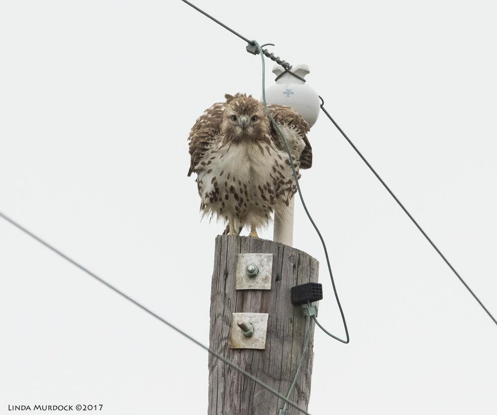 Juvenile Red-tailed Hawk in a stare-down Nikon D810 with NIKKOR 500mm f/4E VR + Nikon 1.4x TC ~ 1/2500  sec f/6.3 ISO 2500; tripod