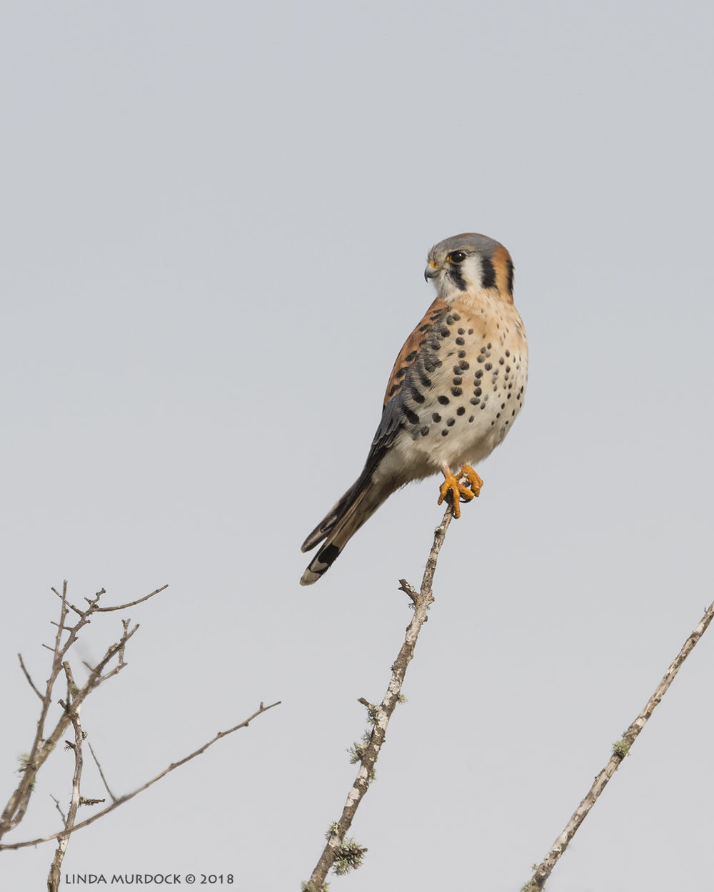 Killer Kestrel at the tip-top of a tree  Nikon D810 with NIKKOR 500mm f/4E VR + Nikon 1.4x TC ~ 1/2500   sec f/8.0 ISO 640; braced on truck