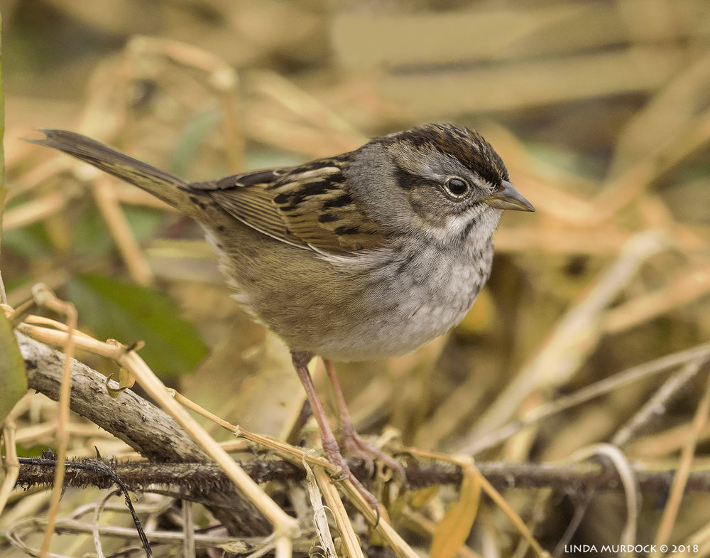 Swamp Sparrow moving in 3... 2... 1...    Nikon D810 with NIKKOR 500mm f/4E VR + Nikon 1.4x TC ~ 1/2000   sec f/6.3 ISO 2000; tripod