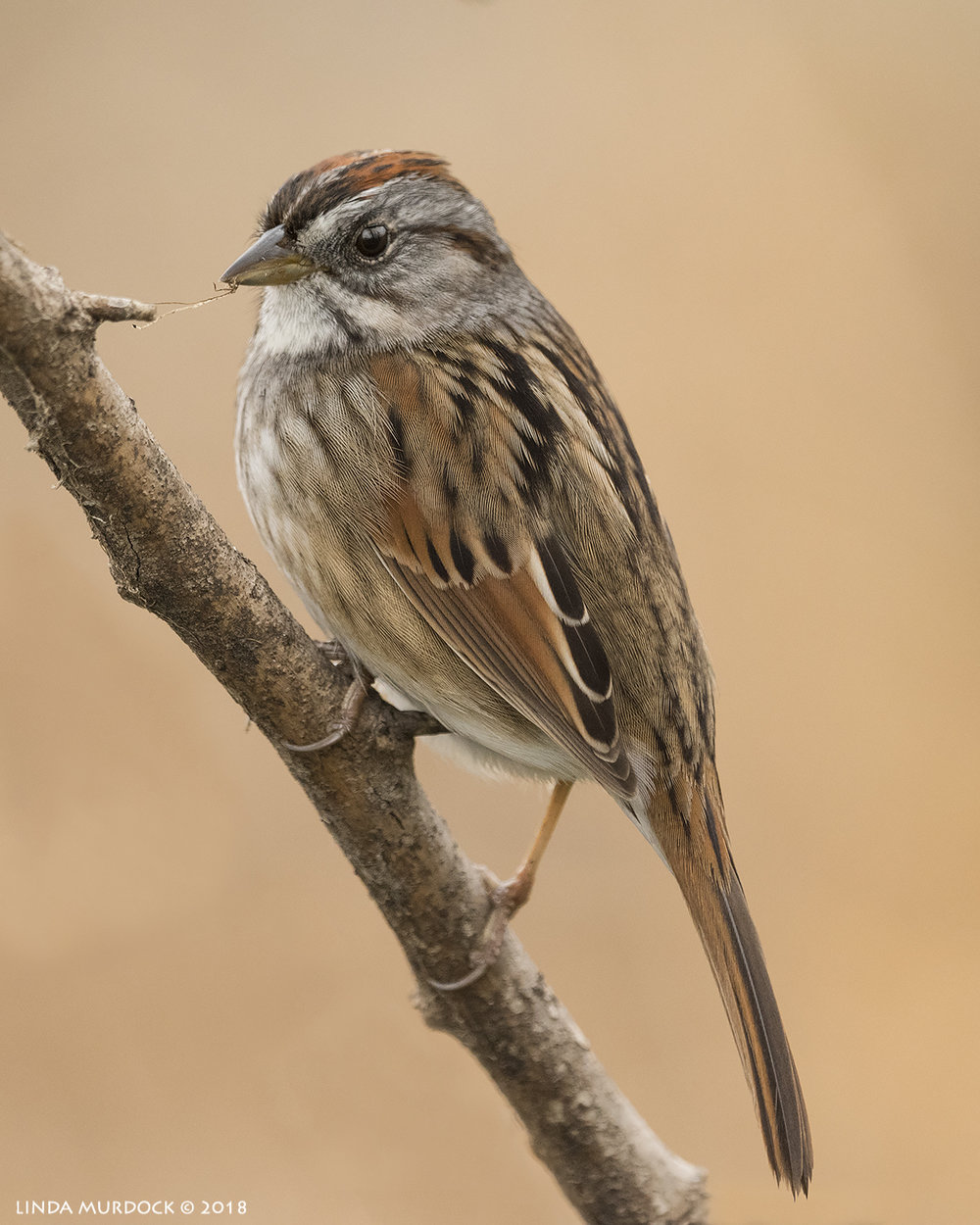 Swamp Sparrow with bug!    Nikon D810 with NIKKOR 500mm f/4E VR + Nikon 1.4x TC ~ 1/2000   sec f/6.3 ISO 2000; tripod
