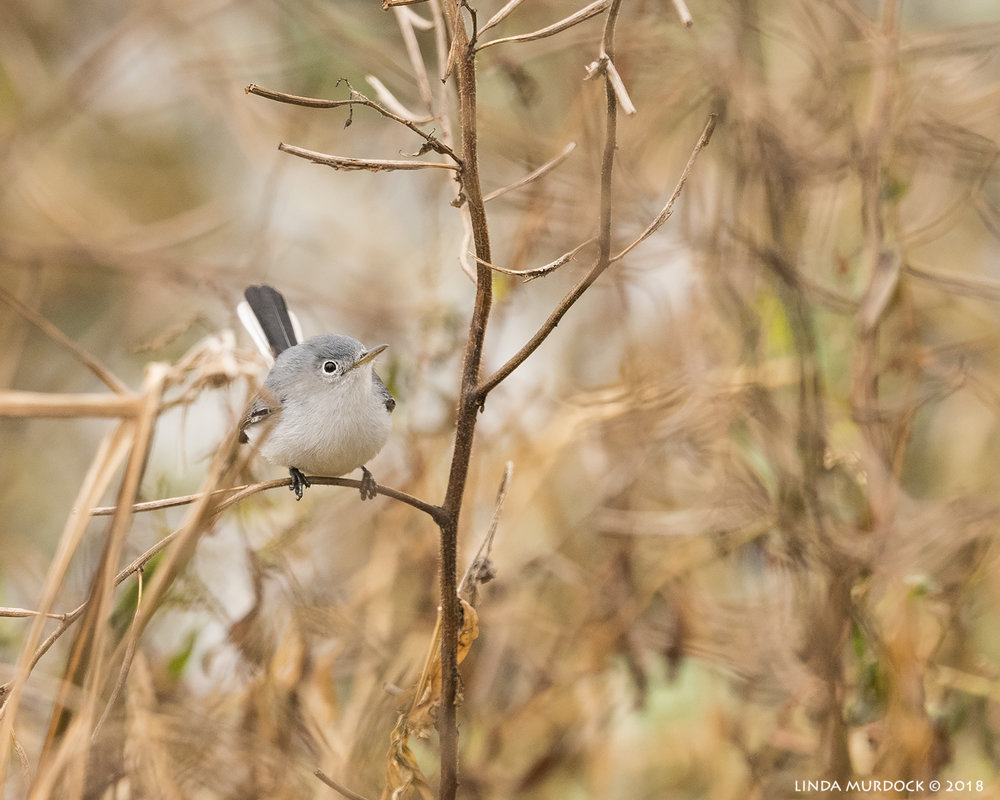 Cute little Blue-gray Gnatcatcher    Nikon D810 with NIKKOR 500mm f/4E VR + Nikon 1.4x TC ~ 1/1600   sec f/6.3 ISO 2000; tripod