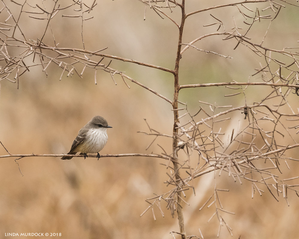 Female Vermilion Flycatcher    Nikon D810 with NIKKOR 500mm f/4E VR + Nikon 1.4x TC ~ 1/2000   sec f/6.3 ISO 2000; tripod
