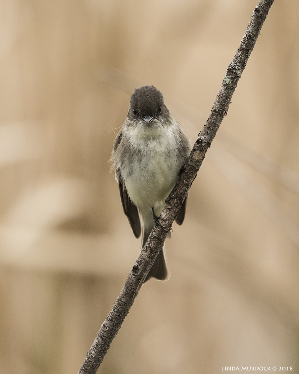 Eastern Phoebe watching me watch him. Or her.    Nikon D810 with NIKKOR 500mm f/4E VR + Nikon 1.4x TC ~ 1/1250   sec f/6.3 ISO 1250; tripod