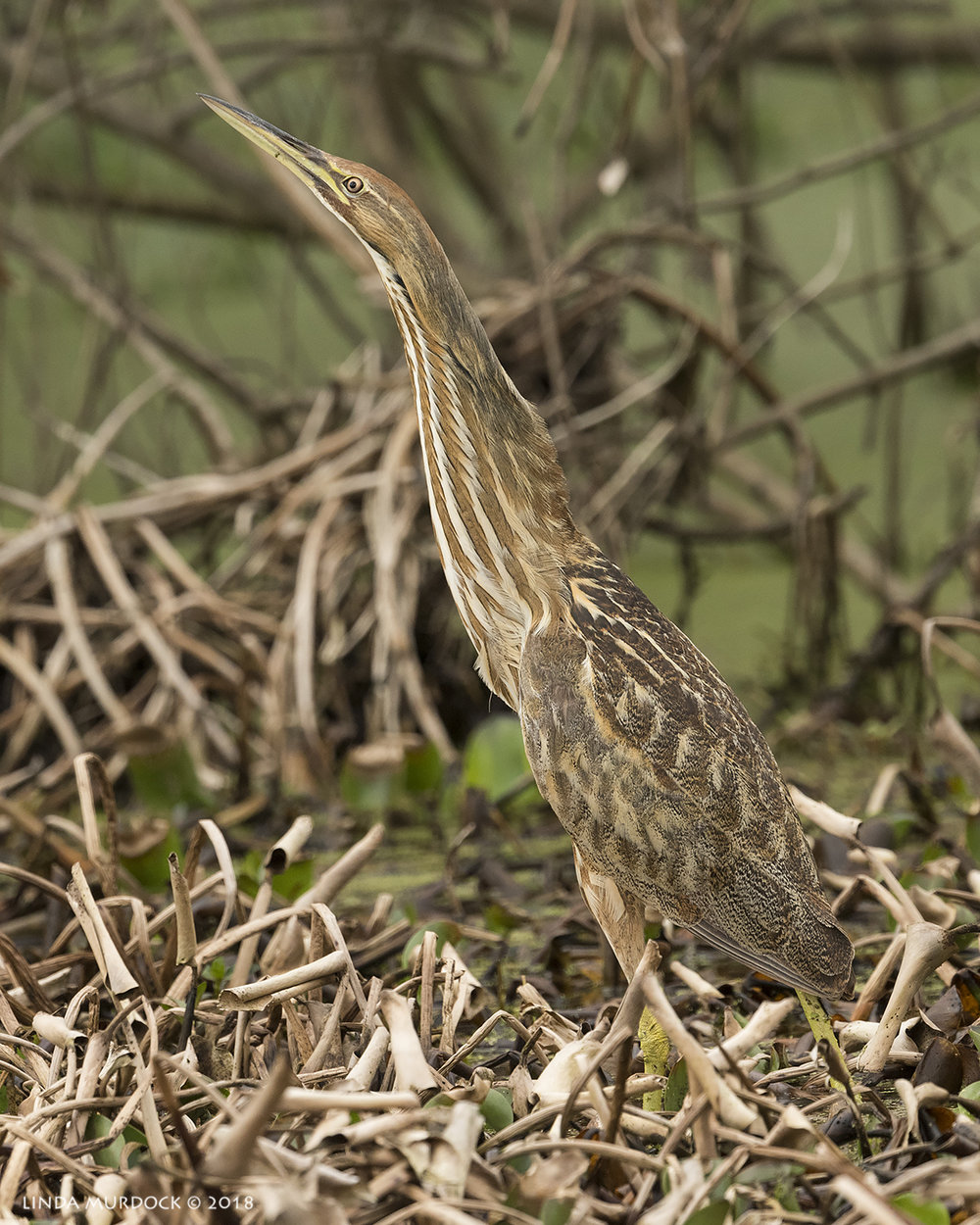 American Bittern in full stretch  Nikon D810 with NIKKOR 500mm f/4E VR + Nikon 1.4x TC ~ 1/1000   sec f/7.1 ISO 1250; tripod