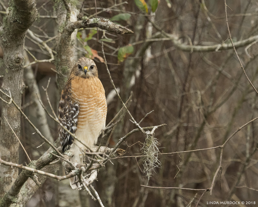 Red-shouldered Hawk checks us out    Nikon D810 with NIKKOR 500mm f/4E VR + Nikon 1.4x TC ~ 1/1250   sec f/7.1 ISO 1600; hand-held