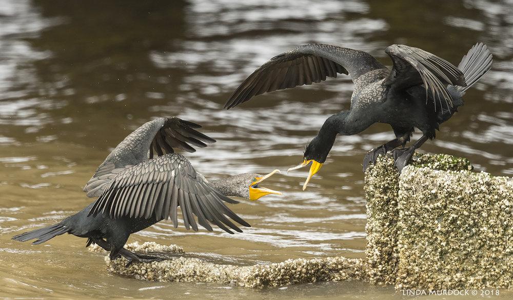 Double-crested Cormorants in a friendly encounter... Nikon D810 with NIKKOR 500mm f/4E VR + Nikon 1.4x TC ~ 1/1600  sec f/6.3 ISO 1600; tripod