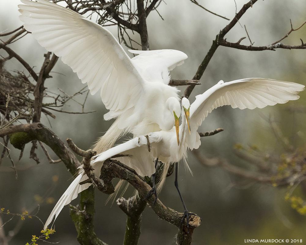 Great Egrets mating Nikon D810 with NIKKOR 500mm f/4E VR + Nikon 1.4x TC ~ 1/2500  sec f/7.1 ISO 1600; tripod