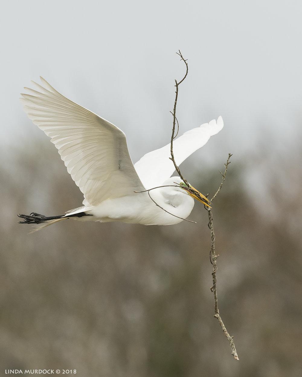 Great Egrets choose interesting sticks for the nests   Nikon D810 with NIKKOR 500mm f/4E VR + Nikon 1.4x TC ~ 1/2500  sec f/7.1 ISO 1000; tripod