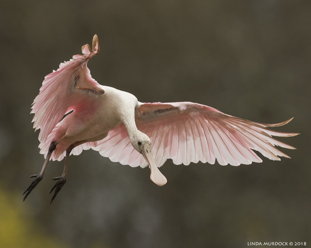 Young Roseate Spoonbill coming in for a landing Nikon D810 with NIKKOR 500mm f/4E VR + Nikon 1.4x TC ~ 1/2500   sec f/7.1 ISO 800; tripod