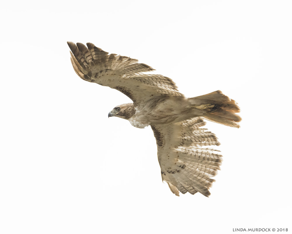 Red-tailed Hawk at Surfside    Nikon D810 with NIKKOR 500mm f/4E VR + Nikon 1.4x TC ~ 1/2500   sec f/7.1 ISO 1250; hand-held