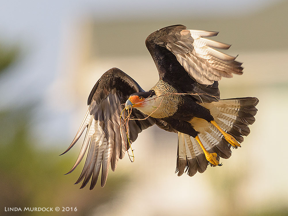 Very expensive image of Caracara with nesting material Nikon D810 with Nikkor 600mm f/4 FL ED+ Nikon 1.4x TC ~  1/2000 sec   f/7.1 ISO 640
