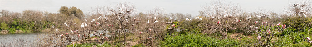 Rookery in Spring of 2014 - Click to embiggen