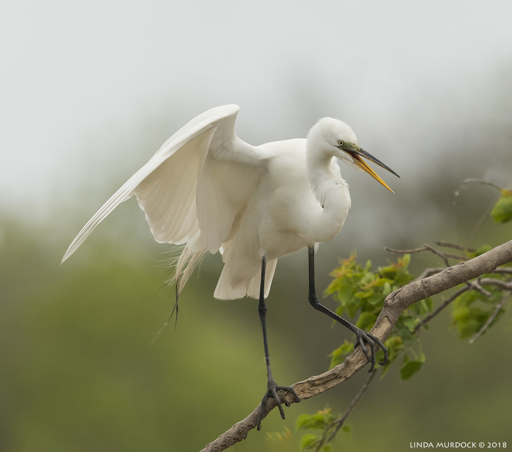 Great Egret with fading green lores    Nikon D810 with NIKKOR 500mm f/4E VR + Nikon 1.4x TC ~ 1/2500   sec f/7.1 ISO 1000; tripod