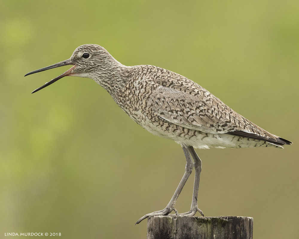 Willet calling and calling and calling Nikon D810 with NIKKOR 500mm f/4E VR + Nikon 1.4x TC ~ 1/1600   sec f/6.3 ISO 1000; braced in truck window
