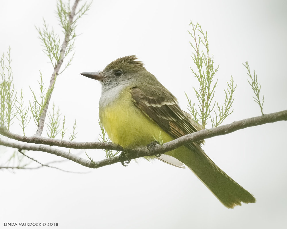 Great Crested Flycatcher Nikon D810 with NIKKOR 500mm f/4E VR + Nikon 1.4x TC ~ 1/1600   sec f/6.3 ISO 2000; tripod