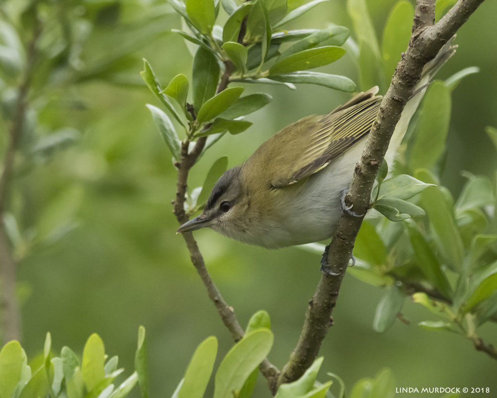 Red-eyed Vireo Nikon D810 with NIKKOR 500mm f/4E VR + Nikon 1.4x TC ~ 1/500   sec f/6.3 ISO 2500; tripod