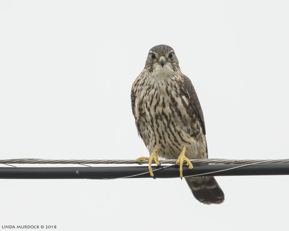 Maybe the last Merlin before migration Nikon D810 with NIKKOR 500mm f/4E VR + Nikon 1.7x TC ~ 1/1600   sec f/7.1  ISO 1250; braced on truck bed