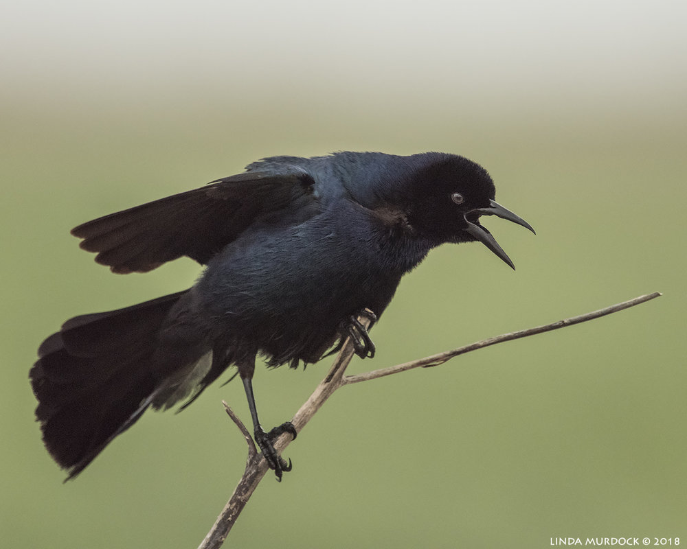 Boat-tailed Grackle making a lot of noise    Nikon D810 with NIKKOR 500mm f/4E VR + Nikon 1.7x TC ~ 1/1250   sec f/6.7  ISO 3200; tripod