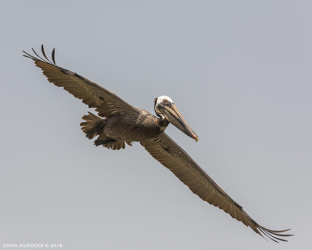 Brown Pelican full stretch sailing on the wind  Nikon D810 with NIKKOR 300mm f/4E PF ED VR + Nikon 1.4x TC ~ 1/2500   sec f/7.1 ISO 640; hand-held