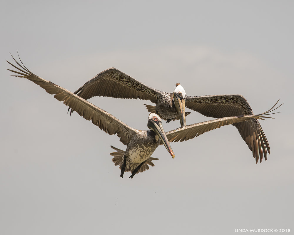 Double pelican pleasure  Nikon D810 with NIKKOR 300mm f/4E PF ED VR + Nikon 1.4x TC ~ 1/2500   sec f/7.1 ISO 640; hand-held