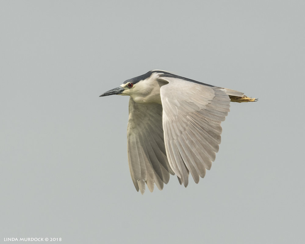 Black-crowned Night Heron fly by Nikon D810 with NIKKOR 500mm f/4E VR + Nikon 1.4x TC ~ 1/2500   sec f/8.0 ISO 800; tripod