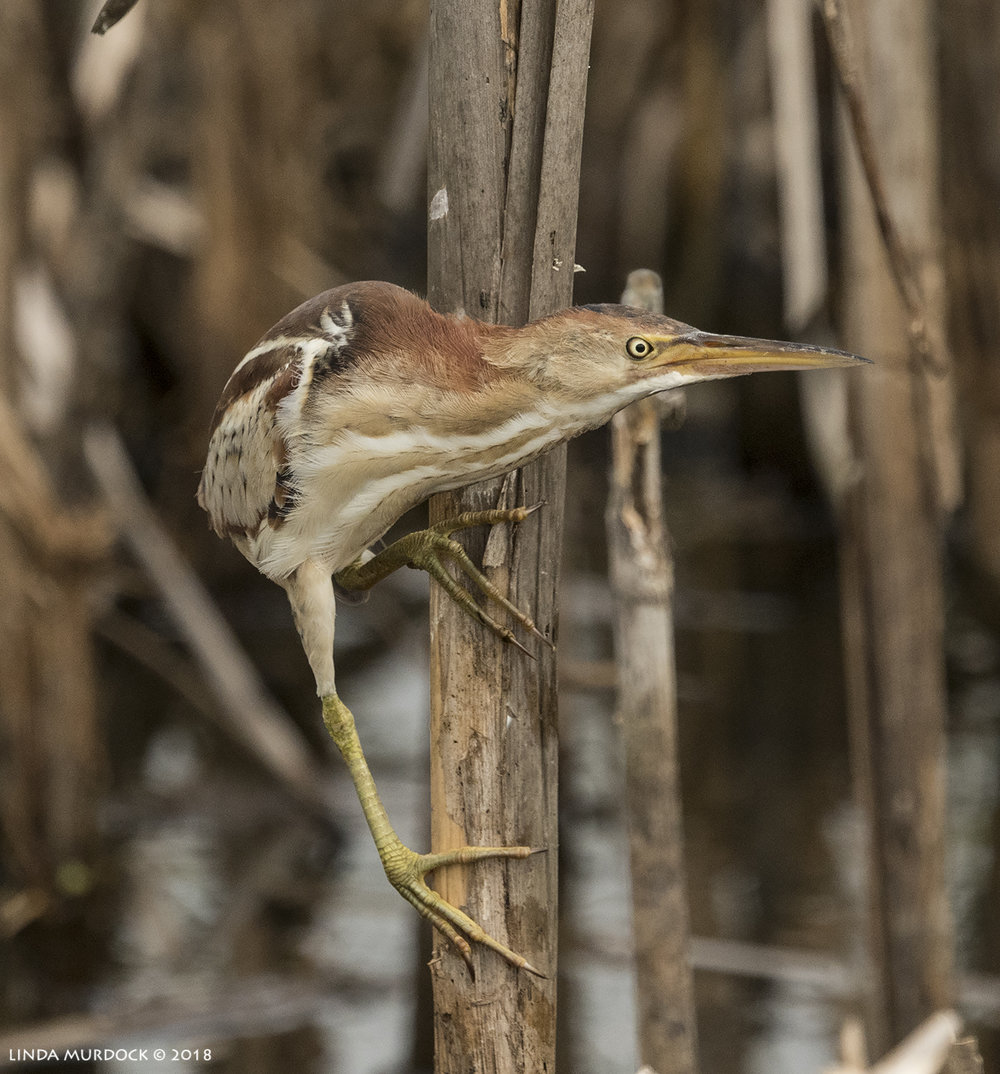 OMG it is a Least Bittern!    Nikon D810 with NIKKOR 500mm f/4E VR + Nikon 1.4x TC ~ 1/2500   sec f/7.1 ISO 1000; I don't remember