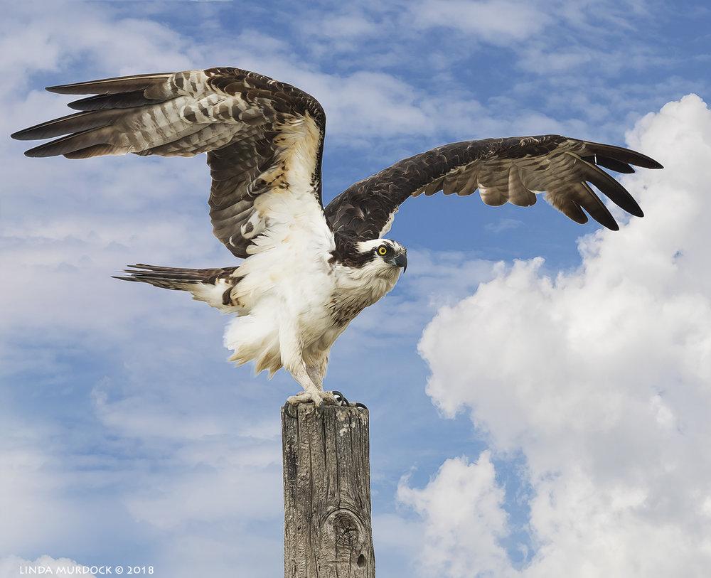 Patriotic Osprey
