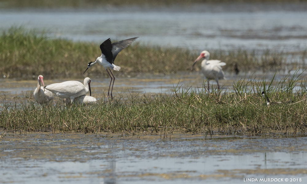 Black-necked Stilt on patrol... Nikon D810 with NIKKOR 500mm f/4E VR + Nikon 1.7x TC ~ 1/2000   sec f/7.1 ISO 500; tripod