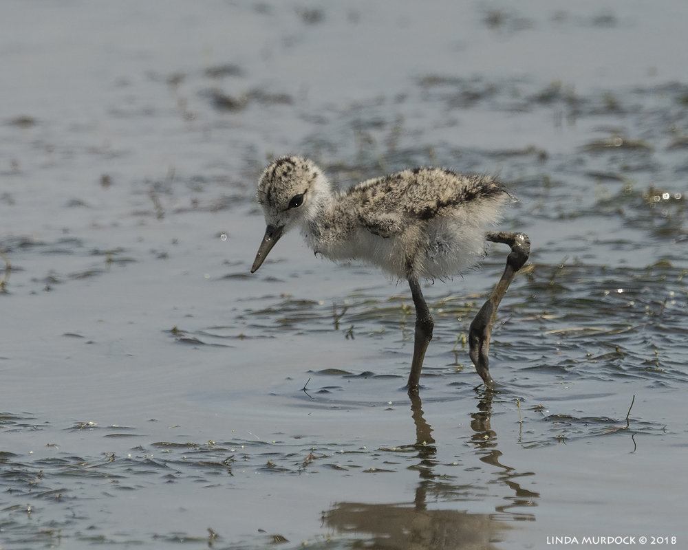 Black-necked Stilt baby in the shallows... Nikon D810 with NIKKOR 500mm f/4E VR + Nikon 1.4x TC ~ 1/2500   sec f/8.0 ISO 640; hand-held