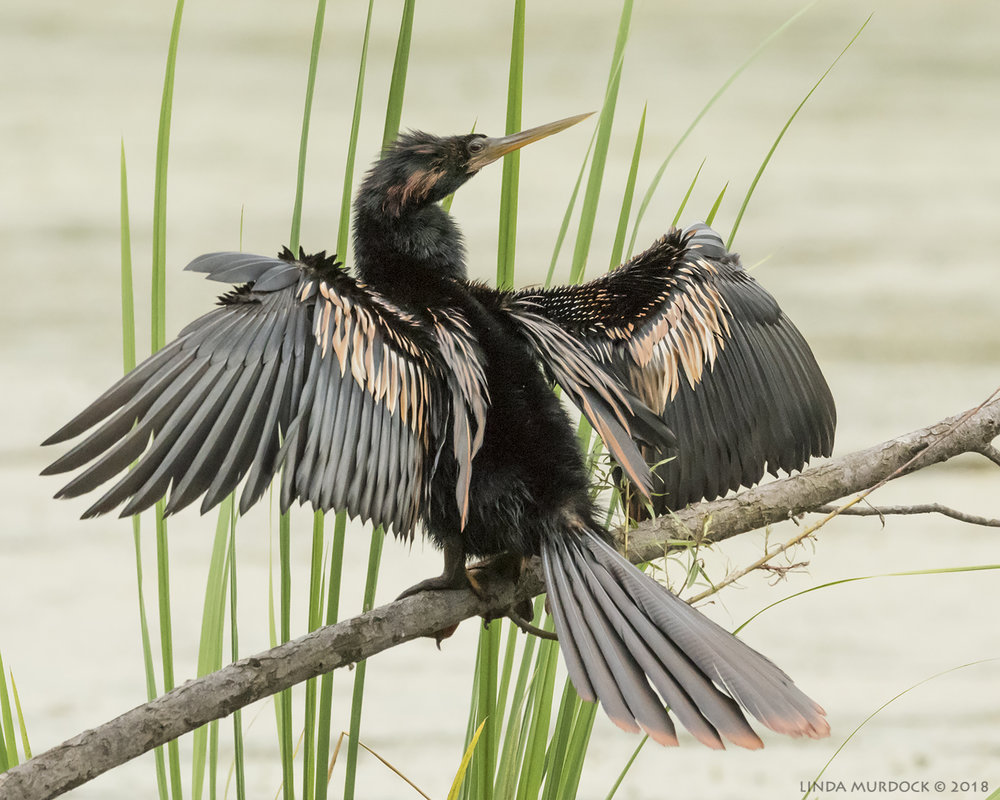 Male Anhinga at Elm Lake      Nikon D810 with NIKKOR 500mm f/4E VR ~ 1/800   sec f/10 ISO 2000; tripod