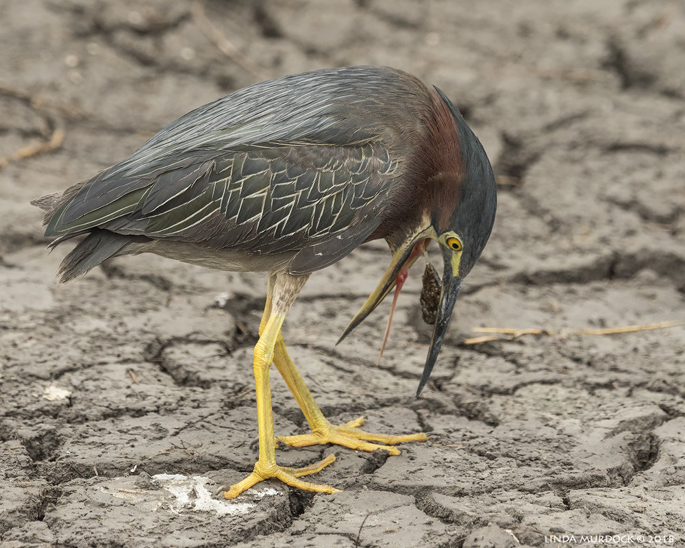 Green Heron hacking up a pellet Nikon D810 with NIKKOR 500mm f/4E VR + Nikon 1.4x TC ~ 1/1600 sec f/8.0 ISO 1000; braced in truck window