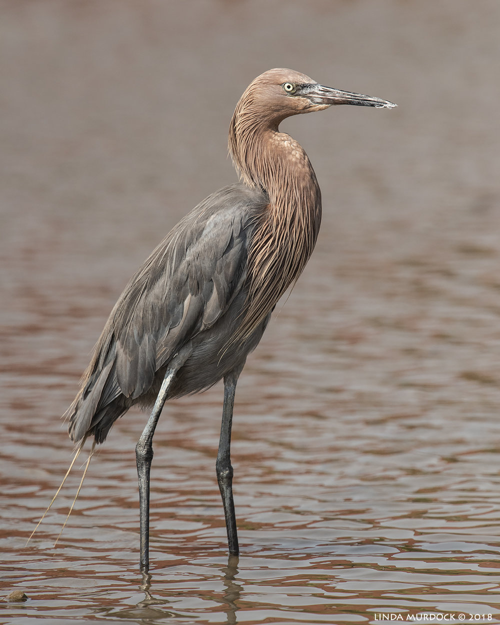 Boring photo of Reddish Egret standing still and doing nothing Nikon D810 with NIKKOR 500mm f/4E VR + Nikon 1.7x TC ~ 1/2000  sec f/8.0 ISO 800; braced in passenger window