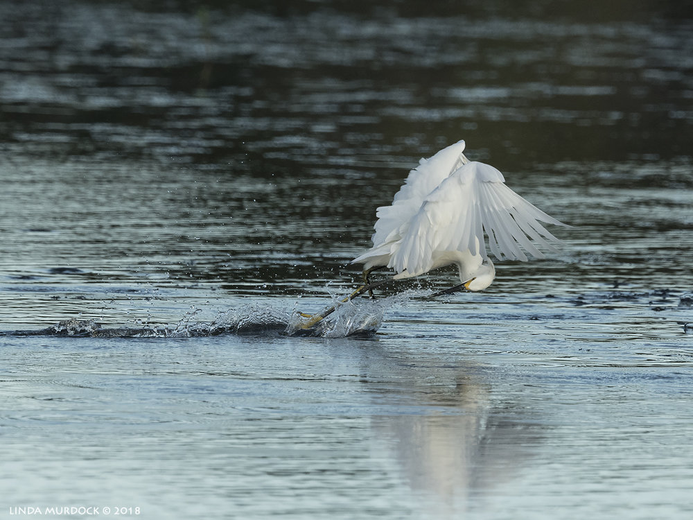 Snow Egret making a challenge for my new auto-focus   Nikon D850 with NIKKOR 500mm f/4E VR + Nikon 1.4x TC ~ 1/2500 sec f/7.1 ISO 1000; tripod