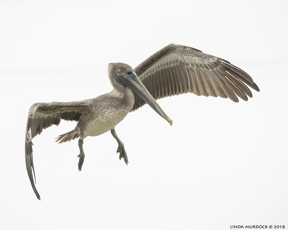 Young Brown Pelican aloft Nikon D850 with NIKKOR 300mm f/4E PF ED VR ~ 1/2500 sec f/6.3 ISO 1600; hand-held