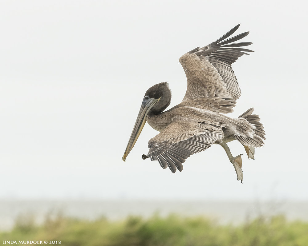 Young Brown Pelican looking for a place to land Nikon D850 with NIKKOR 300mm f/4E PF ED VR ~ 1/2000 sec f/7.1 ISO 1600; hand-held