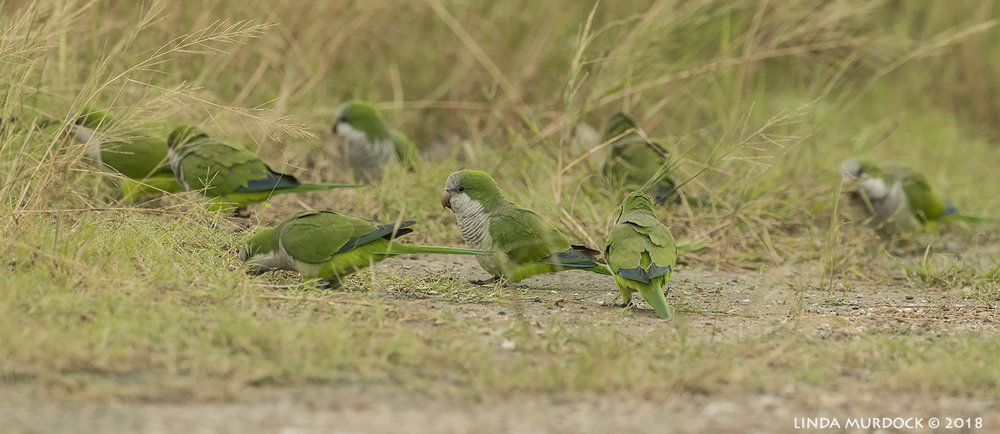 OMG… yes! Monk Parakeets! Nikon D850 with NIKKOR 500mm f/4E VR ~ 1/2000 sec f/7.1 ISO 1600; hand-held