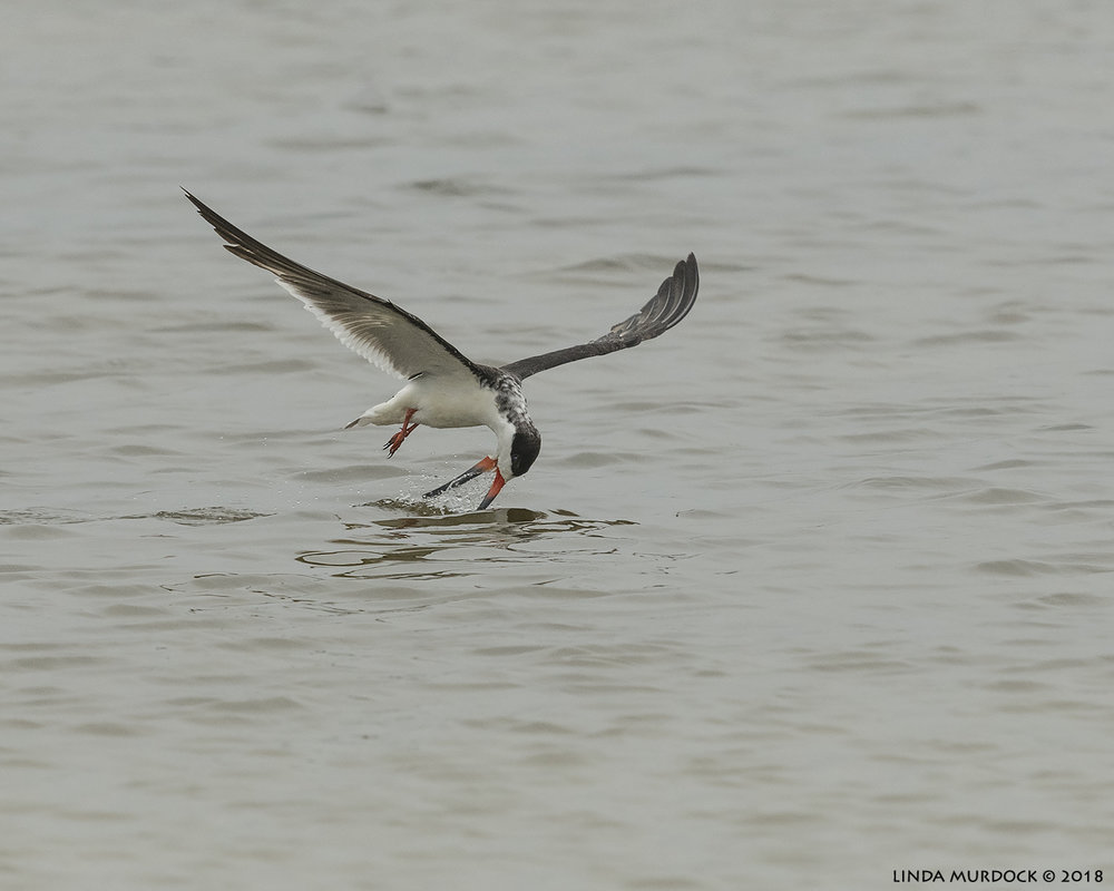 Black Skimmer almost getting something Nikon D850 with NIKKOR 300mm f/4E PF ED VR ~ 1/2500 sec f/7.1 ISO 1000; hand-held