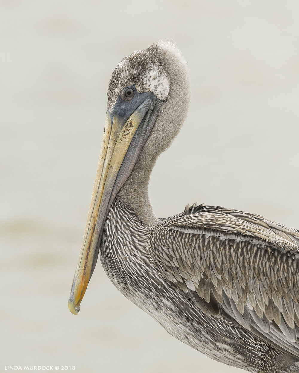 Young Brown Pelican portrait Nikon D850 with NIKKOR 300mm f/4E PF ED VR ~ 1/2500 sec f/7.1 ISO 1600; hand-held