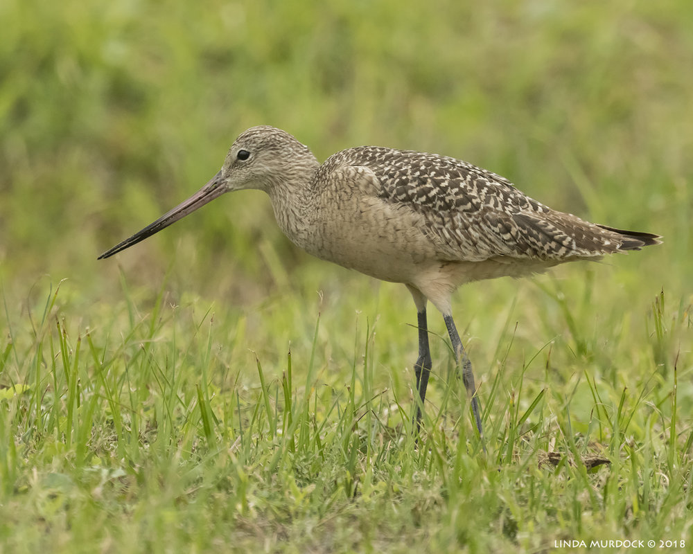 Marbled Godwit  Nikon D850 with NIKKOR 500mm f/4E VR ~ 1/2000 sec f/7.1 ISO 2000; braced in truck window