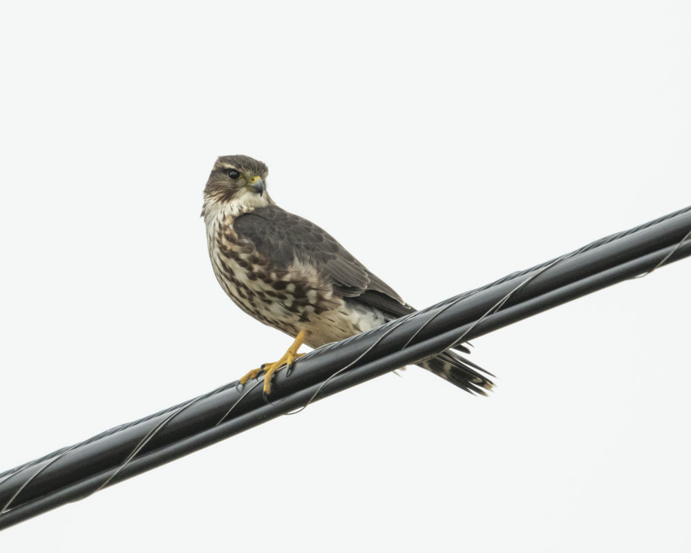 Merlin looking at us  Nikon D850 with NIKKOR 500mm f/4E VR ~ 1/1600 sec f/6.3 ISO 2000; braced in truck