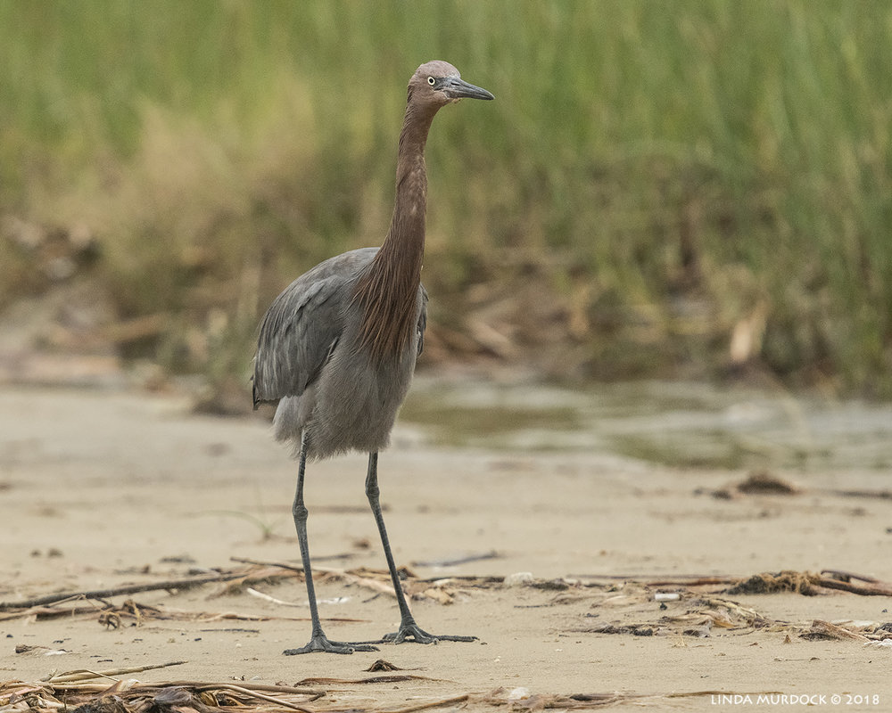 Reddish Egret blocking the exit…  Nikon D850 with NIKKOR 300mm f/4E PF ED VR with 1.4x TC~ 1/2000 sec f/6.3 ISO 1250; hand-held